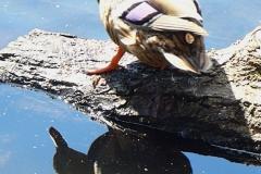 barbara glick - P1040118 duck 2a for WEB
