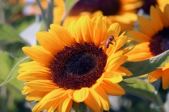 Ed W - 2_Sunflower_2311-W1