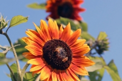 Ed W - 5_Sunflower_2425-W1