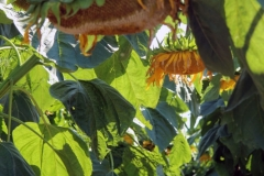 Ed W - 7_Sunflower_2521-W1