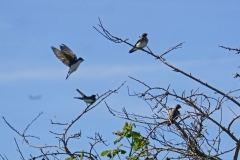 Dorothy-DSC02800-Northern-Rough-winged-Tree-Swallows2