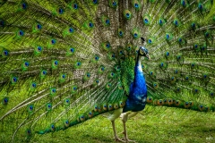 Michael-Chin-12_Peacock