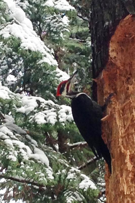 barbara glick - IMG_3500 pilated woodpecker nr snowy tree