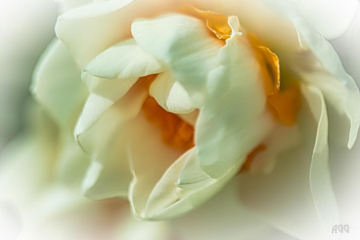 AGG_Tulips_1