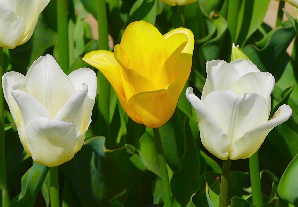 Angela-Burnett-2-Tulips