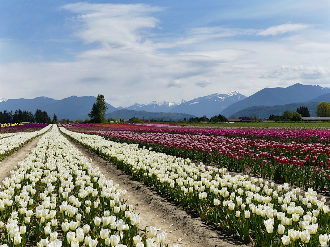 Angela-Burnett-3-Tulip-fields