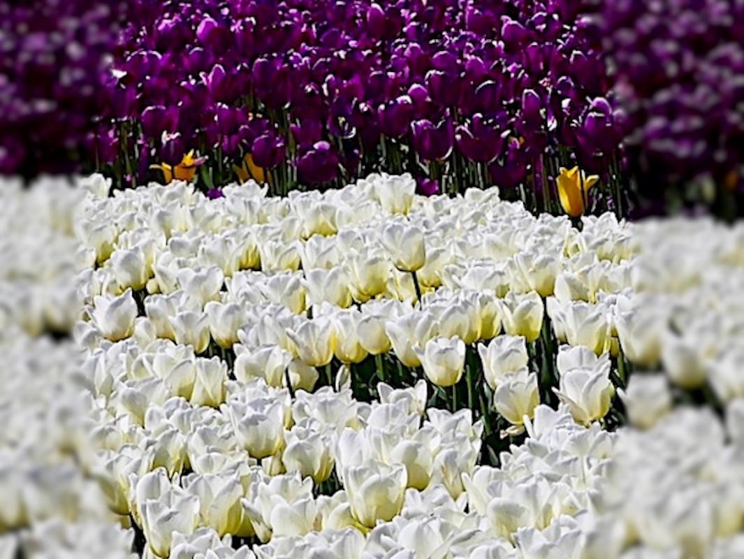 Angela-Burnett-4-White-and-purple