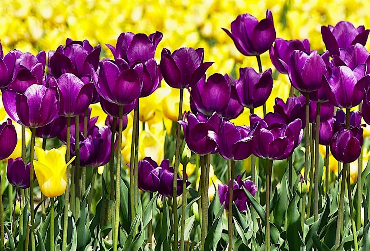 Angela-Burnett-5-Purple-and-yellow