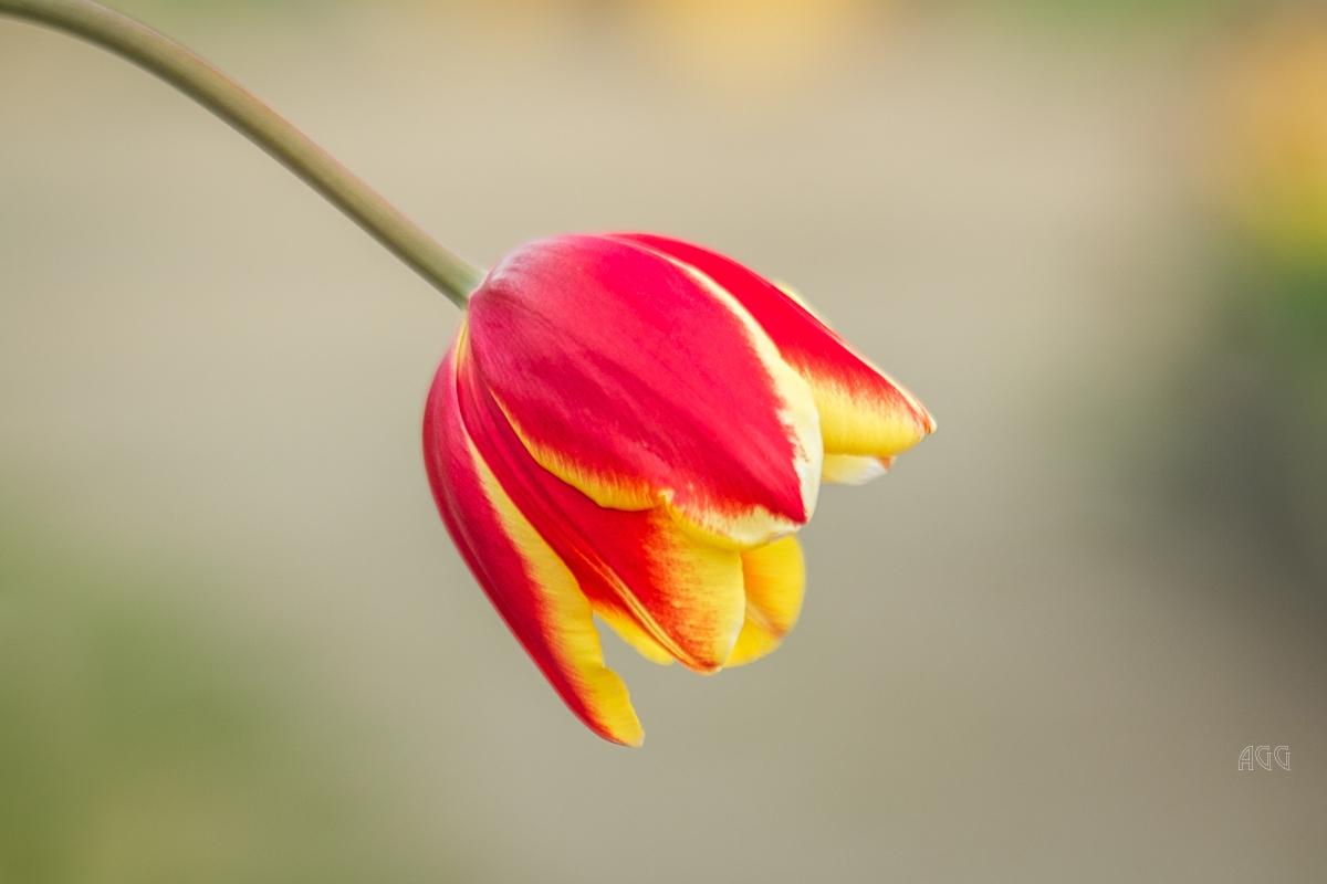 Angela-Gauld-3_Tulips
