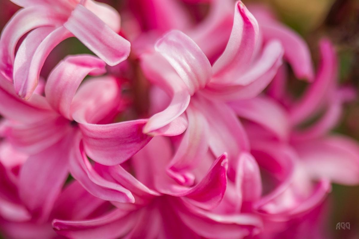 Angela-Gauld-5_Tulips
