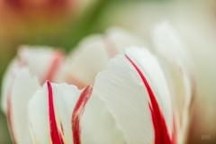 Angela-Gauld-4_Tulips