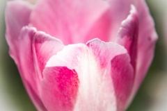 Angela-Gauld-6_Tulips