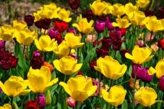 Francis_Tulips_Vandusen_1