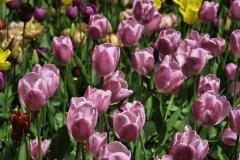 Francis_Tulips_Vandusen_2