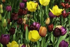 Francis_Tulips_Vandusen_3