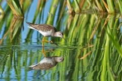 Victor Jacinto - Shorebird reflection