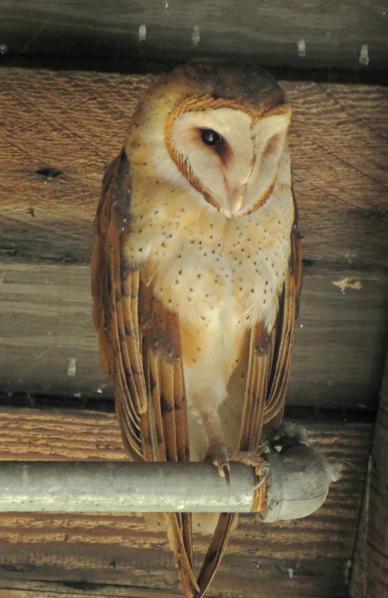 Brian G Phillips - BrianP_1_Barn Owl at Britannia Shipyard