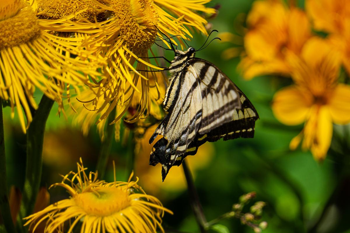Minoru PhotoClub - Francis_1_butterfly