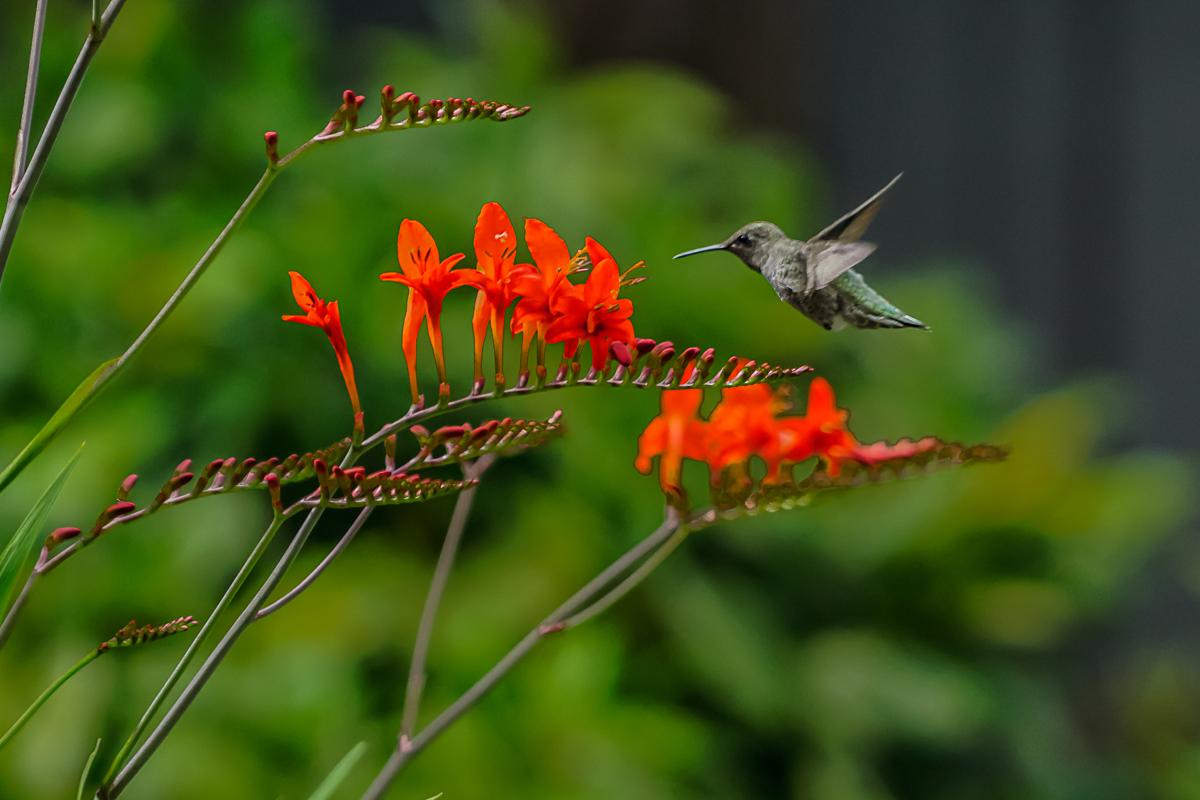 Minoru PhotoClub - Francis_2_HummingBird