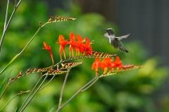 Minoru PhotoClub - Francis_3_HummingBird