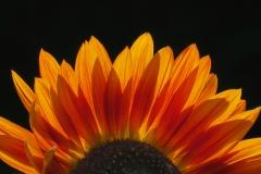 Brian G Phillips - BrianP_1_Sunflower Radiance