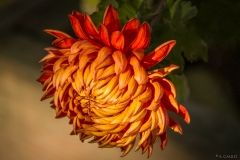 Angela Gauld - 3_Chrysanthemum
