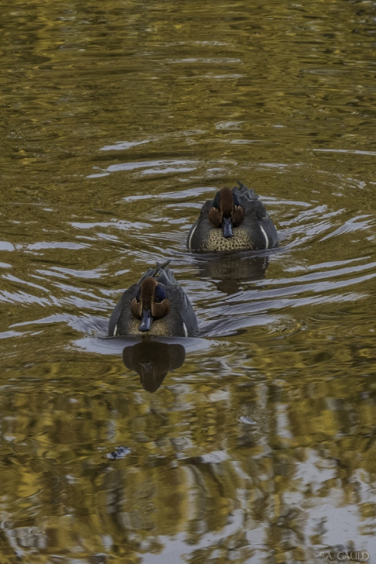 Angela Gauld - 1_ducks