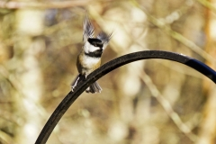 Dorothy-Singleton-dorothy_1_Magical-Mistakes-Shocked-Chickadee-DSC09675