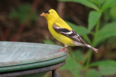 BrianP_2_Goldfinch
