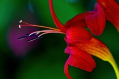 Mary-Zwick-Crocosmia1