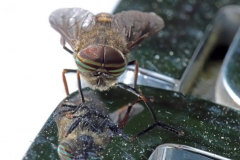 Paul-Rennie-Banded-eye-fly-looking-in-mirror