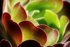 Man-kay-KOON-2-Succulent