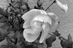 barbara-glick-IMG_0837-rose