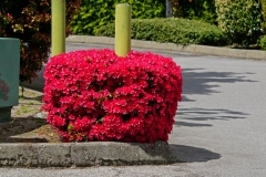 Dorothy-dorothy_2_Flowers-DSC02606-Azaleas1