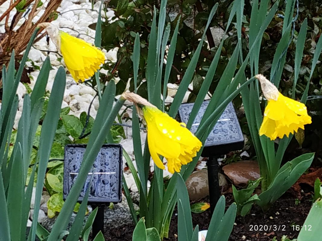Ada-Li-three-daffodils