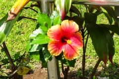 Dorothy-IMG_0139-Hibiscus1