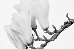 michael-chin-Magnolia