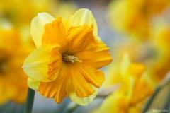 michael-chin-daffodil