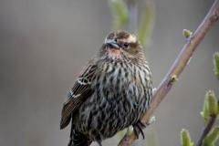 Angela-Gauld-Female_Redwing_Blackbird