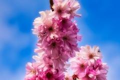 Chuck-Vaugeois-Blossoms