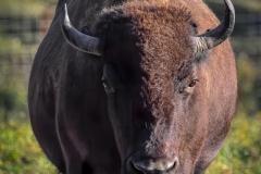 Chuck-Vaugeois-Buffalo-at-Fraser-River-Lodge