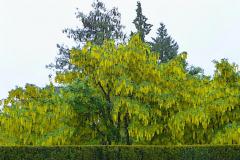 Angela-Burnett-3.-Hedge-and-Golden-Rain-trees485