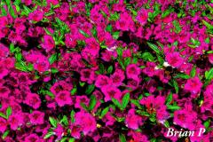 Brian-G-Phillips-Azaleas-on-steroids-1080