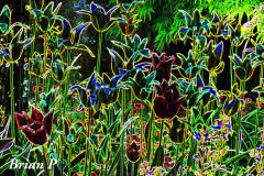 Brian-G-Phillips-Edgey-Tulips-1080