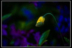 Klaas-Focker-Klaas-Flower-1