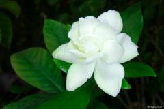 michael-chin-Gardenia