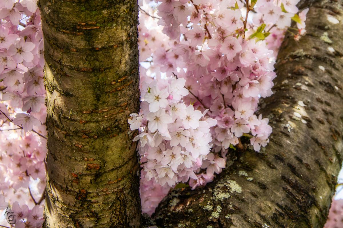 Angela-Gauld-Blossom1