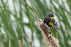 Angela-Burnett-1.-Audubon-warbler-0796-copy