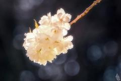 Angela-Gauld-Blossom2