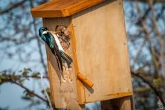 Angela-Gauld-Nesting-Swallow